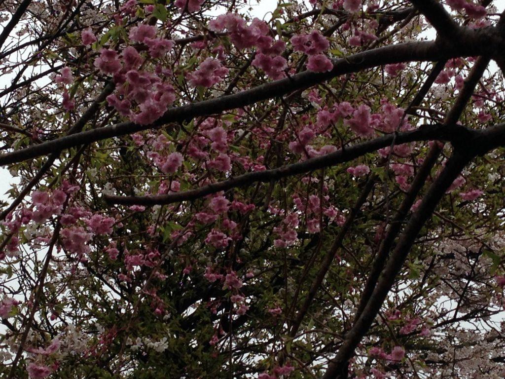 栃木 那須高原 ペンショントント 春 枝垂れ桜 しだれざくら