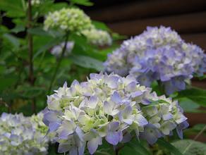 栃木 那須 あじさい 紫陽花