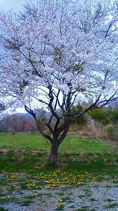 那須高原 ペンショントント 桜 さくら
