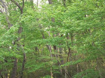 那須高原の春 新緑