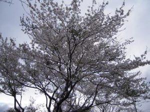 那須高原の春桜さくら
