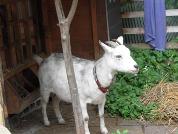 栃木 那須 ガレージセールめぐり 2011 ガーデンハウスサラ 山羊 やぎ