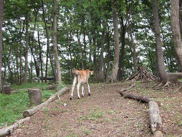 栃木 那須 森林ノ牧場 牛