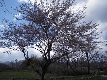 栃木 那須高原 ペンショントント 春 桜 さくら