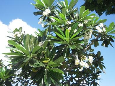 ハワイ オアフ島 ワイキキ プルメリア 花