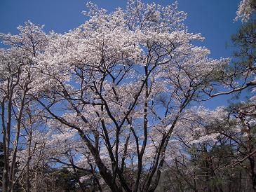 栃木 那須塩原 黒磯公園 春 桜 さくら お花見