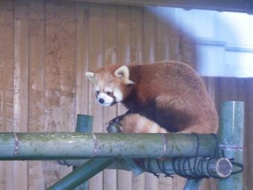 栃木 那須 どうぶつ王国 レッサーパンダ