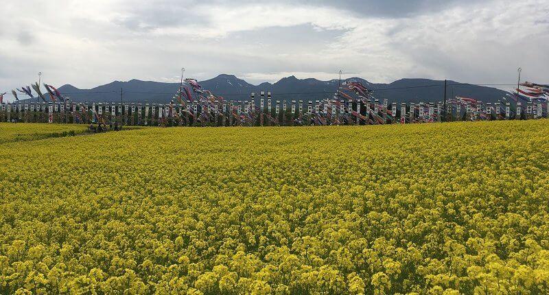 栃木 那須 ハートフルファーム 菜の花畑 鯉のぼり こいのぼり