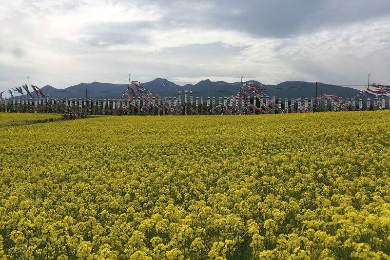 栃木 那須 ハートフルファーム 菜の花畑 鯉のぼり
