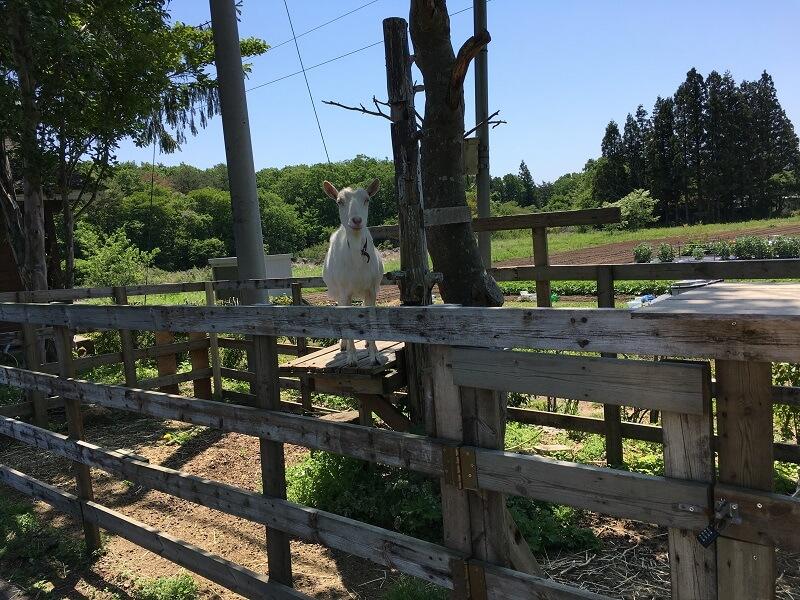 栃木 那須高原 タピオカファクトリー TAPIOKAFACTORY 琥珀 こはく kohaku オリバーヴィレッジ 山羊 やぎ