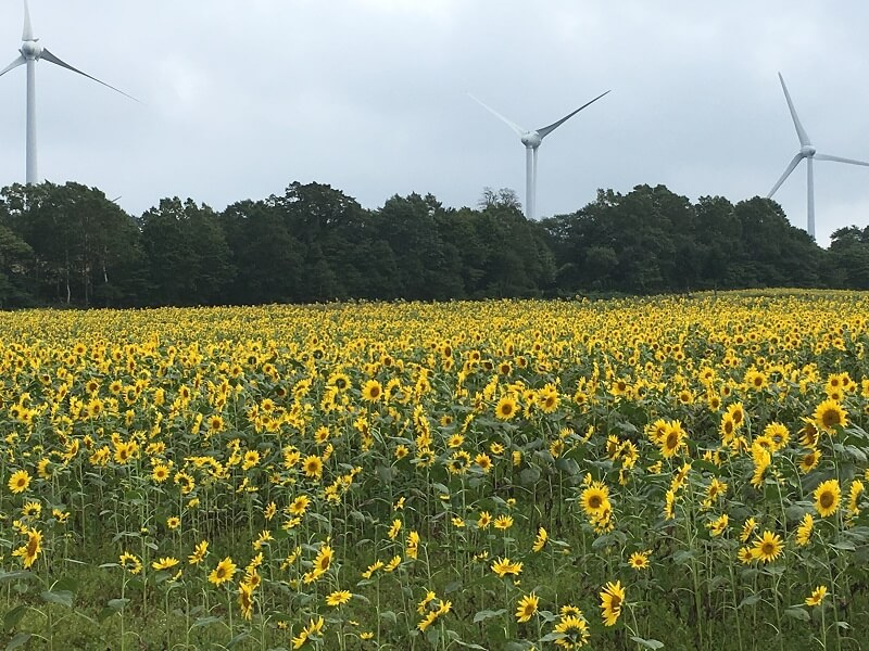 福島 郡山 布引風の高原 ひまわり畑 風力発電 風車